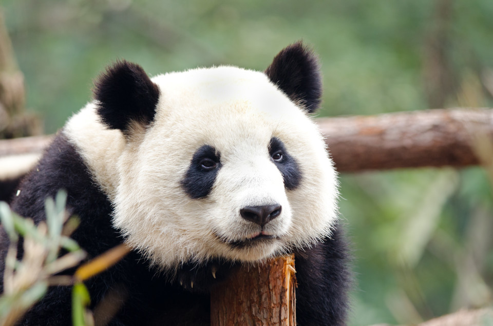A resting Giant Panda - Sad, Tired, Bored looking Pose. Chengdu, China